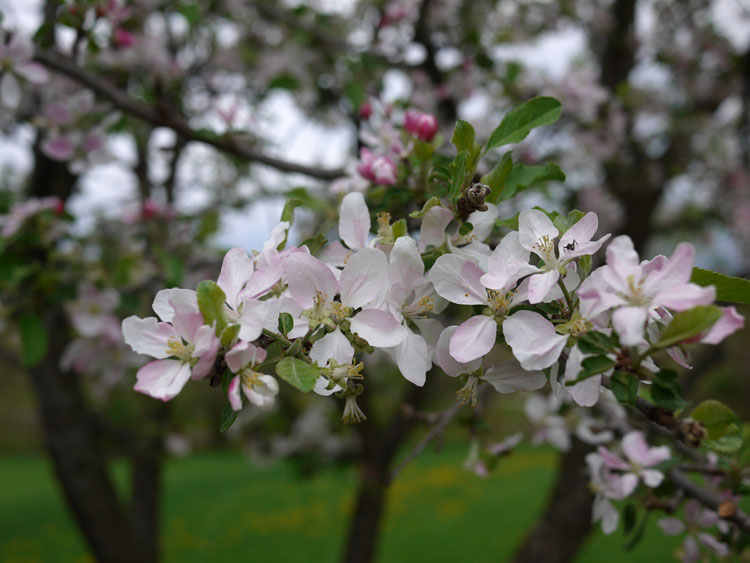 apple blossoms 588