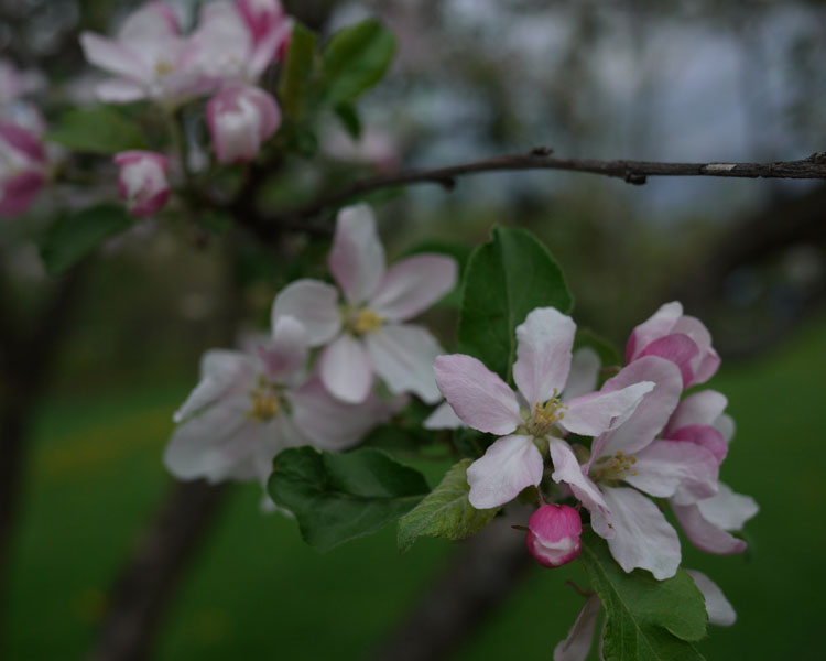 apple blossoms 590