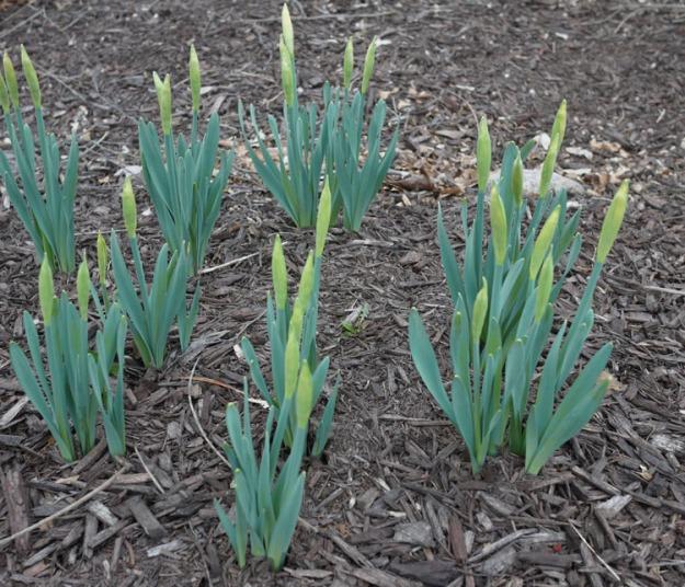 daffodils 028