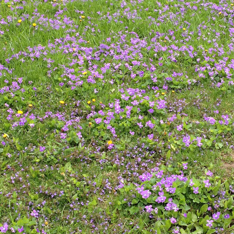 violet carpet 3341