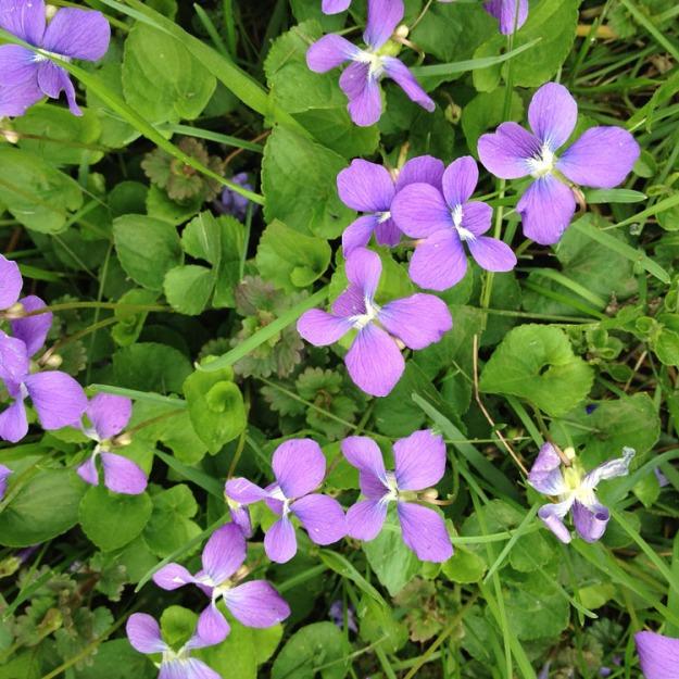 violets 3347