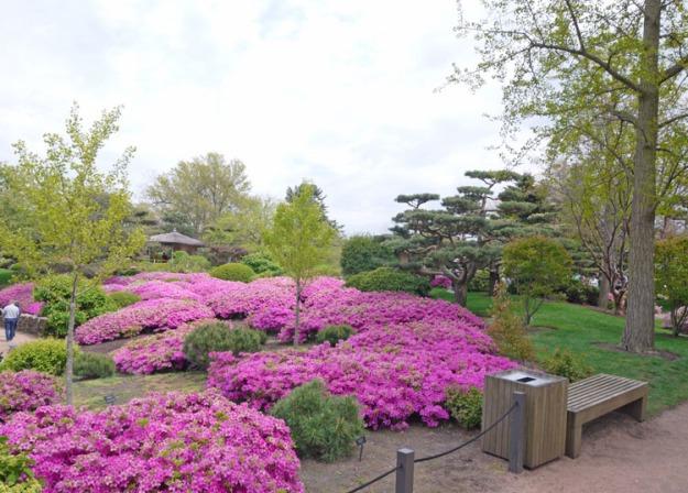 azaleas japanese garden 803
