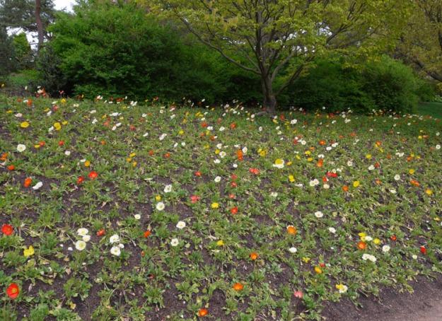 poppies 799