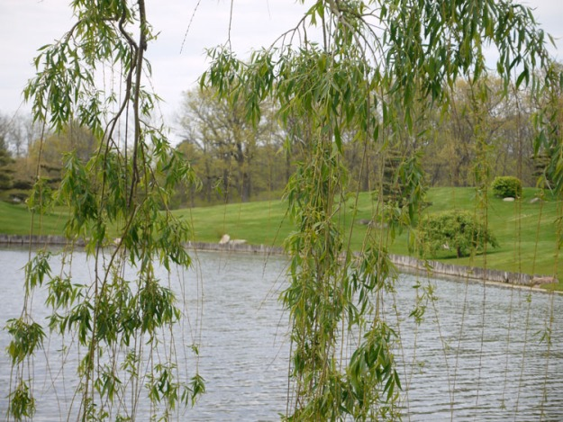 weeping willow 823