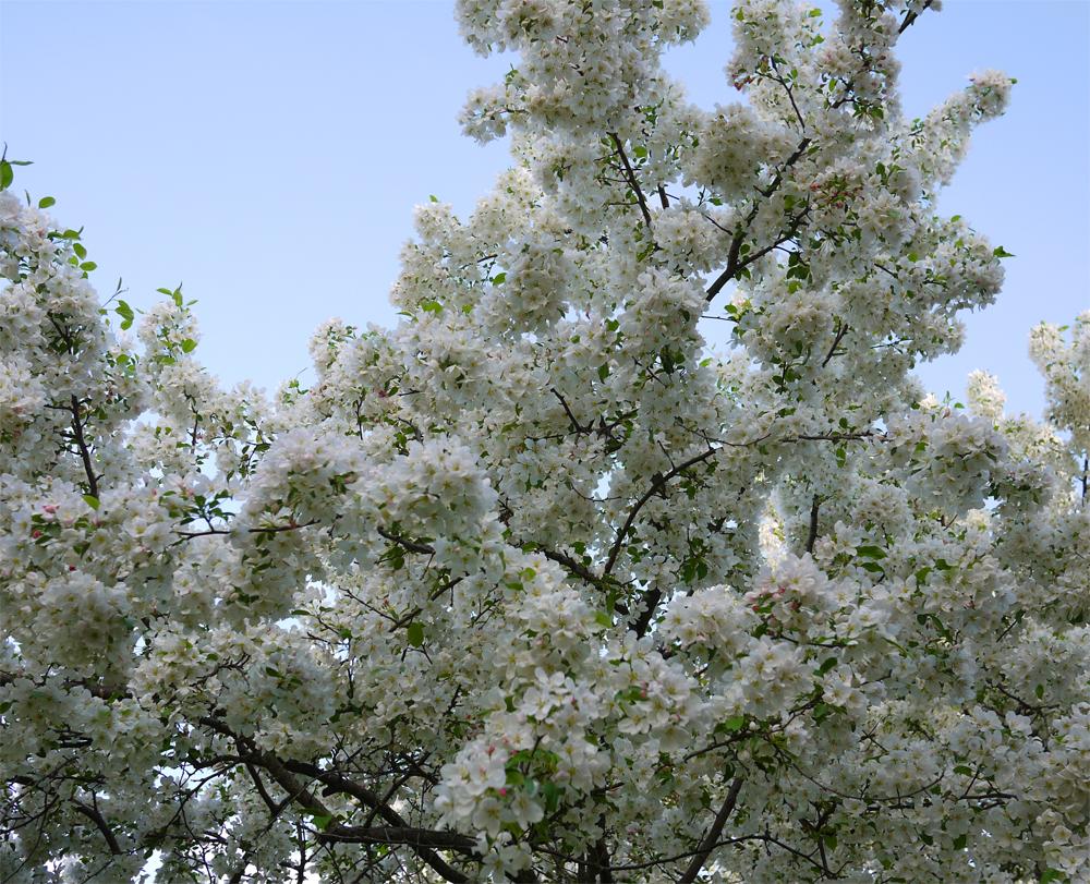 2019 apple blossoms 511