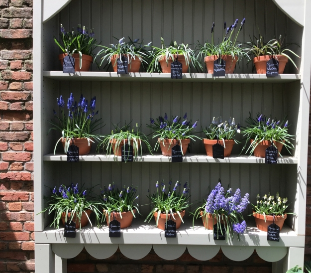 2019 hutch grape hyacinths 0602