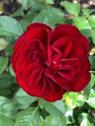 2019 rose garden 4381