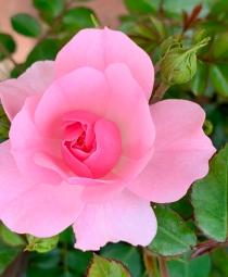 2019 rose garden 4388