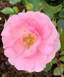 2019 rose garden 4389