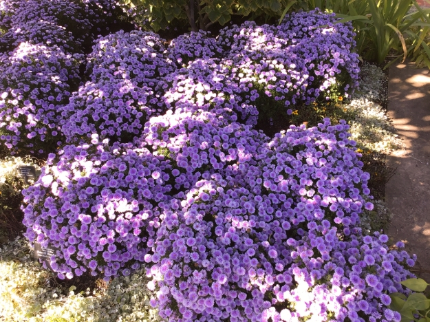 2019 fall asters 0857