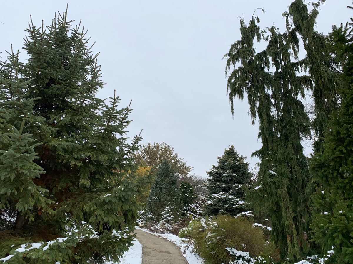 dwarf conifer garden snow 4775
