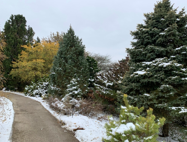 dwarf conifer garden snow 4777