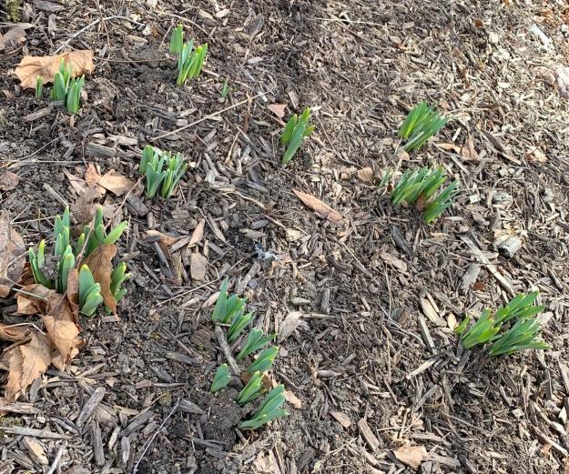 2020 daffodil growth 5349